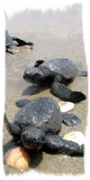 Turtle newborns running for the sea during the Perfect Combination in Costa Rica - only in birth season